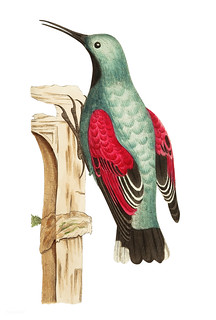 Wall creeper or Grey creeper illustration from The Naturalist's Miscellany (1789-1813) by George Shaw (1751-1813)