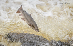 Hexham Salmon Run 2018 (simon.mccabe.5) Tags: breeding food simonmccabe run august 2018 river hexham uk action water fish salmon leap