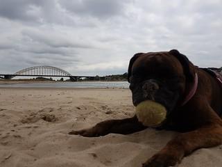 Boxer Marly met tennisbal op waal strand Lent 14-08-2018