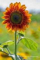 Elverson_08_04_2018_DSC-8842 (Jeff Adukinas Photography) Tags: sunflowers elverson summer