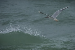 Gull (G. Warrink) Tags: wales visitwales cymru findyourepic lovewales beautifulwales discoverwales hightide tide springtide wind coast shore sea beach water barmouth llanaber bird gull seagull