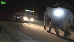 The Gigantic Elephant that rules the streets at night (THE WILD ELEPHANT) Tags: huge elephant rescue video youtube quite baby funny kids videos the wild wildlife news tv
