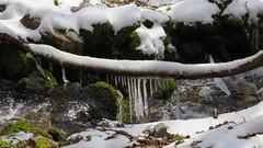 Stalactites de glace sur le torrent près du sentier du Kastelberg (ViveLaMontagne67) Tags: france vosges munster mittlach kastelberg torrent neige eau glace stalactite ensoleillé printemps hiver winter spring sunny ice water snow