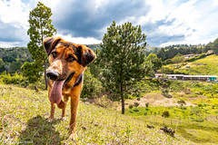 Axel (Naturescrack) Tags: landscape paisaje nikon d750 animal animales animals green verde dog perro can canine lengua tongue tree trees arbol árbol arboles árboles sky cielo nature naturaleza ngc