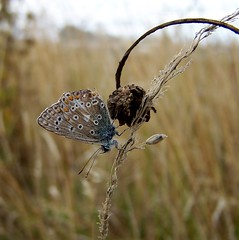 The World's A Better Place When You're Upside Down (ERIK THE CAT Struggling to keep up) Tags: lepidoptera commonblue toft littleheath staffordshire butterflies ngc npc