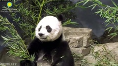 2018_08-15h (gkoo19681) Tags: meixiang beautifulmama sopretty proudmama adorableears fuzzywuzzy brighteyed perfection amazing bootime listening cautious majestic precious foreveryoung darling meltinghearts ccncby nationalzoo