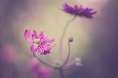 Anemones (michel1276) Tags: olympus zuiko zuikomacro zuikomacro9020 makro macro manualfocus bokeh bokehlicious bokehful flower flora blume blüte anemone
