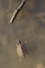 False Map Turtle - Cottonwood Falls, Kansas (BeerAndLoathing) Tags: river water summer 2017 roadtrip reptiles kansas 77d turtle colorado trip wildlife canon eclipsetrip august usa canoneos77d