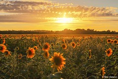 Down on the farm, a sea of sunflowers (Steve Samosa Photography) Tags: sunset knowsley halewood farming sunflowers liverpool england unitedkingdom gb