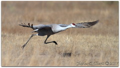 A Running Start (ctofcsco) Tags: 7d canon colorado explore northamerica usa eos ef400mm f28l ii usm 20x canoneos7d ef400mmf28liiusm20x f56 800mm iso320 12000s crane bird running takeoff nature wildlife mvnwr montevista co explored esplora renown pretty photo image digital pic extender teleconverter 2x ef2xii supertelephoto telephoto eos7d 7dclassic 7dmarki 7dmark1