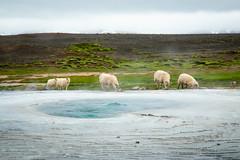 (Vala images) Tags: onlyiniceland cloudy geothermal sheep grazing highlands hveravellir iceland ísland landscape