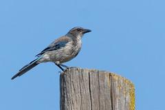 California Scrub Jay (Lifer) (Lynn Tweedie) Tags: wood california 7dmarkii tail feathers sigma150600mmf563dgoshsm californiascrubjay sky canon eye eos ngc knightsferry