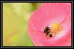 """Bee Content..."" (NikonShutterBug1) Tags: nikond7100 tokina100mm bee insect entomology nature wildlife bokeh spe smartphotoeditor closeup macro flower flora fauna poppy"