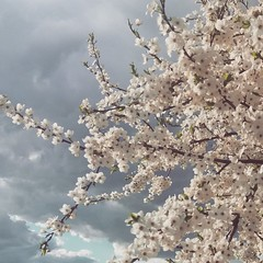 (julialeto932) Tags: flickr belarus nature sky blooming apple tree jl beautiful storm