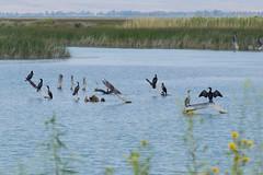 Sunbathing Birds at Bear Lake (aaronrhawkins) Tags: bearlake cormorant sunbathing turquoise wildlife refuge reserve preserve wetlands water waterfowl rest wings marsh idaho aaronhawkins