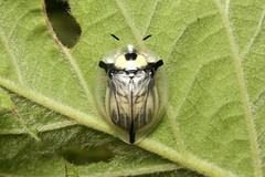 Coleoptera, Chrysomelidae, (Silver Tortoise Beetle) - Entebbe, Uganda (Nick Dean1) Tags: animalia arthropoda arthropod hexapoda hexapod insect insecta coleoptera chrysomelidae silvertortoisebeetle tortoisebeetle uganda entebbe beetle