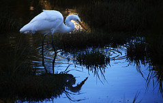 Egret Feeding (gcquinn) Tags: california egret geoff geoffrey morning quinn reserve sausalito usa