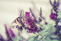 Pit stop (Sarah Rausch) Tags: butterfly sony butterflybush buddleia swallowtail swallowtailbutterfly wings antennae proboscis soft vintage