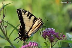 Swallowtail (danniepolley) Tags: swallowtail