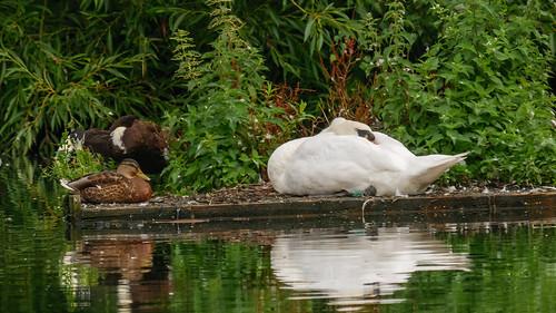 Swan-1160524