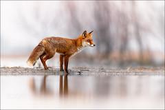 Fox (KevinBJensen) Tags: biological reserve fauna eco animal male vertebrata wild cervus elaphus portrait kenyan cereal grain single winter snow cold ice january hungary redfox fox rotfuchs fuchs