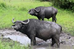 African Buffalo (AWFPresident) Tags: africa africanwildlife bigfive wildlife africansafari wildlifephotography topwildlife wildlifefacts buffalo africanbuffalo blackdeath widowmaker