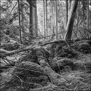 Ancient Forest - Ultra 100 exp*