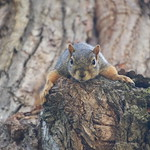63/365/3715 (August 13, 2018) - Squirrels in Ann Arbor at the University of Michigan (August 13th, 2018) thumbnail