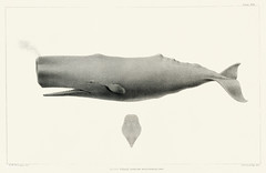 Sperm whale (Physeter macrocephalus) from Natural history of the cetaceans and other marine mammals of the western coast of North America (1872) by Charles Melville Scammon (1825-1911). (Free Public Domain Illustrations by rawpixel) Tags: animal antique aquatic cmscammon cscammon ceteceans charles charlesmelville charlesmelvillescammon creature fish handdrawing handdrawn life mammals marine marinelife marinemammals melville naturalhistory northamerica ocean old physetermacrocephalus publicdomain scammon sea seacreature sketch species spermwhale vintage westerncoast whale
