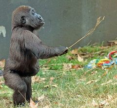 western lowlandgorilla Yanga Artis JN6A1355 (j.a.kok) Tags: gorilla westelijkelaaglandgorilla westernlowlandgorilla lowlandgorilla laaglandgorilla yanga animal artis africa afrika aap ape mammal monkey mensaap primate primaat zoogdier dier