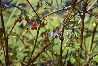 Fahrradtour - reiche Beerenernte vom Bittersüßen Nachtschatten (Solanum dulcamara) in diesem Jahr; Meggerdorf, Colsrakmoor (146)