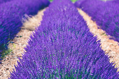 empty places (Smo_Q) Tags: provence france lavender pentaxk3ii