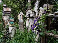 Around the BrucePeninsula (Frances Maas) Tags: brucepeninsula tobermory nature naturephotography canada canonphotography ontario outdoors wildlife animals birdhouse birdhouses clematis purple flowers