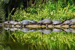 Bagnasciuga (lucamarasca1) Tags: naturaselvaggia wild wildlife nital nikkorlens 18200mm d5500 nikon nikkor natura nature animali animals tartarughe turtles
