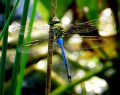 Wow !!!  A Macro Green Darner Landing (Eat With Your Eyez) Tags: macro green darner dragonfly insect bug odonate odonata wing wings winged nature animal panasonic fz1000 bokeh ohio park medina county
