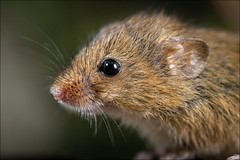 Harvest Mouse 2 (Darwinsgift) Tags: harvest mouse nikkor micro 200mm f4 nikon d850 rodent macro