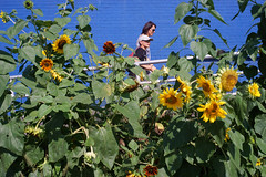 Sunflowers (dtanist) Tags: nyc newyork newyorkcity new york city sony a7 konica hexanon 40mm brooklyn coney island boardwalk sunflower sunflowers flowers patch ramp stillwell avenue