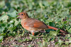 Female juvenile cardinal (Lynn Tweedie) Tags: beak tail baby canon ngc red female colorful 7dmarkii missouri bird sigma150600mmf563dgoshsm cardinal juvenile green eye eos animal feathers