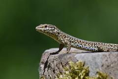 Lézard des murailles - Podarcis muralis - Common Wall Lizard (Alain-46) Tags: lézarddesmurailles podarcismuralis commonwalllizard lepidosauria squamata lacertidae