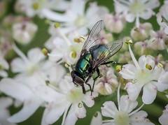 Muscid sp. - Neomyia cornicina (andrewkirby255) Tags: fly stokeabbott