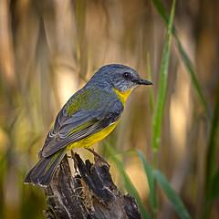in the shadows - an eastern yellow robin (Fat Burns ☮ (gone bush)) Tags: easternyellowrobin eopsaltriaaustralis smallbird robin nikond500 afs200500mmf56eedvr sandycamproadwetlands wynnum brisbane queensland australia wildlife australianwildlfe