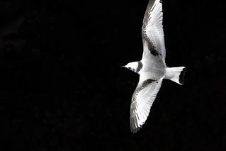 Kittiwake flight