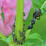 The ant and the aphids in my garden thumbnail