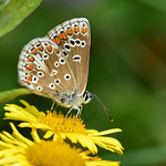 Brown Argus ... Aricia agestis thumbnail