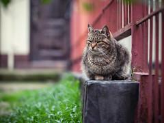 Street cat 206 (Igor A.T.) Tags: cat cats кот кошка котка kedi chat feline kat katze katzen kot kotka pet felino kottur katte kass kitty gato kocka gatta katzchen 5d canon streetcat