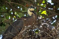 Nesting White Faced Heron (fate atc) Tags: bird nz newzealand ngatakistream northland rarawa tree whitefacedheron chicks chicksobscured nest nestingbird threechicks