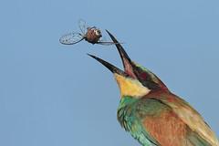 il giocoliere (seconda versione ripulita) (Marcello Giardinazzo) Tags: gruccione wild uccelli natura avifauna birds