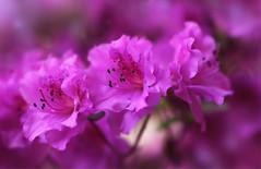 _MG_7494 (chazheng) Tags: azalea flower beautiful floral fantasy attraction closeup flickr beauty bokeh macro canon fullframe love colorful nature garden