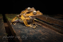 File-eared Tree Frog  (Polypedates otilophus) (peter soltys) Tags: peter soltys adventure macro photography wildlife canon herping borneo indonesia file eared tree frog polypedates otilophus
