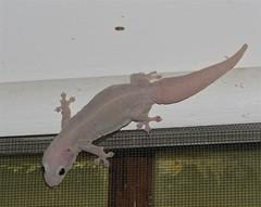 Dubious Dtella (tom_2014) Tags: gecko reptile lizard dubiousdtella dtella gehyra dubia gehyradubia herp herpetofauna herpetology exotherm animal wild wildlife ecology nature biodiversity nsw newsouthwales moree outback australia australian australianwildlife wall